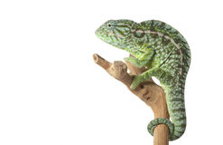 Carpet Chameleon Stock Photography