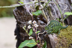 Carpet Chameleon (Furcifer lateralis lateralis) stock photos