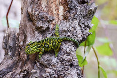Carpet Chameleon (Furcifer lateralis lateralis) royalty free stock photography