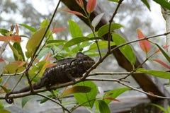 Carpet Chameleon (Furcifer lateralis lateralis) stock photography