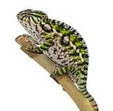 Carpet Chameleon Stock Image