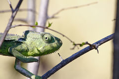 Carpet Chameleon (Furcifer lateralis) Stock Photography