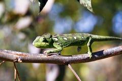 Carpet Chameleon (Furcifer lateralis) Royalty Free Stock Photo