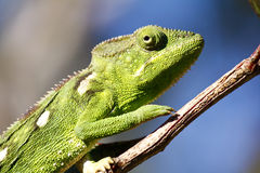 Carpet Chameleon (Furcifer lateralis) Stock Images