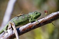 Carpet Chameleon (Furcifer lateralis) Stock Photography