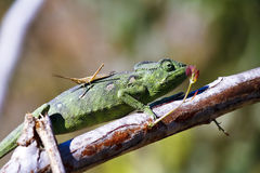 Carpet Chameleon (Furcifer lateralis) Royalty Free Stock Photography