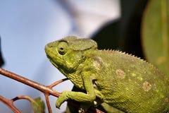 Carpet Chameleon (Furcifer lateralis) Stock Photo