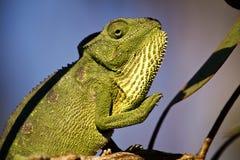 Carpet Chameleon (Furcifer lateralis) Royalty Free Stock Photos