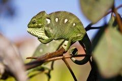 Carpet Chameleon (Furcifer lateralis) Royalty Free Stock Images