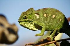 Carpet Chameleon (Furcifer lateralis) Royalty Free Stock Image
