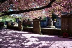 Carpet of cherry blossom Royalty Free Stock Photography