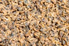 Carpet clam Stock Images