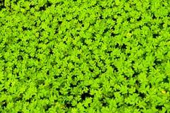 Carpet of clover Stock Image