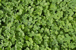 Carpet of Clover Royalty Free Stock Image