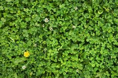 Carpet of white clover in the garden. Green grass background royalty free stock images