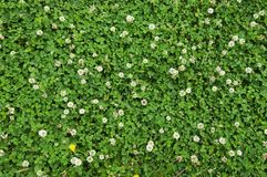 Carpet of white clover in the garden. Green grass background stock images