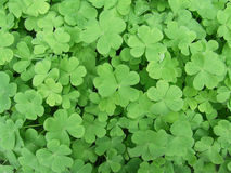 CARPET OF CLOVER Royalty Free Stock Images