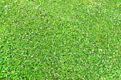 Carpet clover. A carpet of young green clover with white flowers in spring on a meadow decorative stock photos