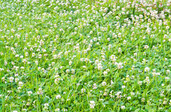 Carpet clover. A carpet of young green clover with white flowers in spring on a meadow decorative stock photo