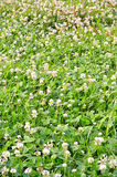 Carpet clover Royalty Free Stock Photography