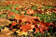 Carpet of colored maple leaves. In Autumn royalty free stock photos