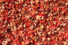 A carpet of colorful fallen leaves Royalty Free Stock Photography