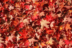 A carpet of colorful fallen leaves Royalty Free Stock Image