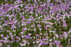 Carpet of Crocus flowers Stock Image