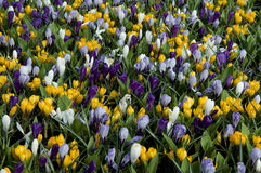 Carpet of crocuses Royalty Free Stock Images
