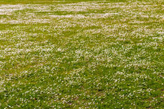 Carpet of daisies and dandelions Stock Image