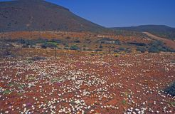 Carpet of Desert Flowers Stock Photo