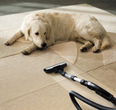Carpet dog. The dog lies on the beige carpet and looks at vacuum cleaner Stock Photo