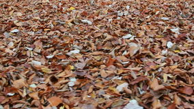 Carpet of dried leafs in autumn stock video footage