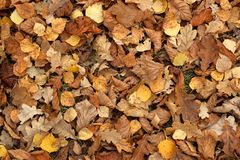 Carpet of fallen autumn leaves on grass. Maple and oak dry foliage. royalty free stock image