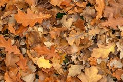 Carpet of fallen autumn leaves on grass. Maple and oak dry foliage. royalty free stock photography