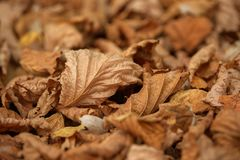 Carpet of fallen autumn leaves on grass. Maple and oak dry foliage. royalty free stock images