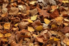 Carpet of fallen autumn leaves on grass. Maple and oak dry foliage. stock photos