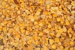Carpet of fallen golden leaves Stock Photos