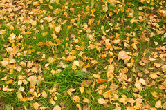Carpet of fallen golden leaves Royalty Free Stock Photography