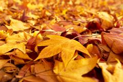Carpet of fallen leaves in autumn. Carpet of ocher fallen leaves in autumn stock photography