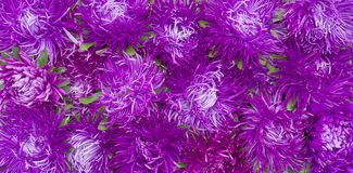 Asters rug. A carpet of flower buds and petals of asters purple and Magenta Royalty Free Stock Image