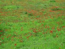 Carpet of flowering animon Royalty Free Stock Photography