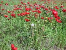 Carpet of flowering animon Stock Images