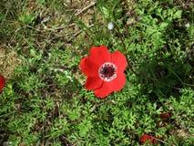 Carpet of flowering animon Royalty Free Stock Photo