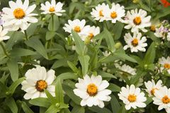 Carpet of Flowers. A carpet of flowering plants including white zinnias and other garden flowers Stock Images