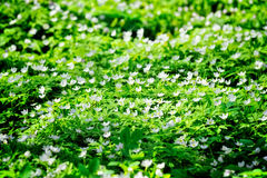Carpet of Flowers. Glade with delicate white flowers illuminated by the sun Royalty Free Stock Images