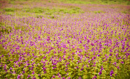 "Carpet of flowers. A beautiful carpet of flowers in the plateau of Satara – ""Kaas"", which is reputed to be Maharashtra's (india) Valley of Flowers. It's Royalty Free Stock Image"