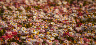 Carpet of flowers. Royalty Free Stock Photos