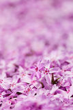 Carpet of flowers. A lot of little pink flowers Royalty Free Stock Photography
