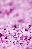 Carpet of flowers. A lot of little pink flowers Stock Photos